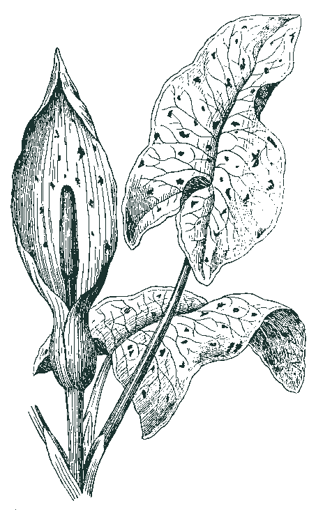 Illustration of a lily plant